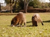 Carpinchos, los roedores más grandes del mundo.