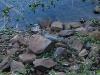 Dos yacarés descansan cerca del agua.