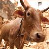 La vaca sagrada: misticismo o practicidad