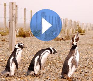 47. Rodeados de pingüinos en cabo Vírgenes