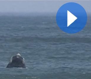 59. Siguiendo a la ballena franca austral por Uruguay