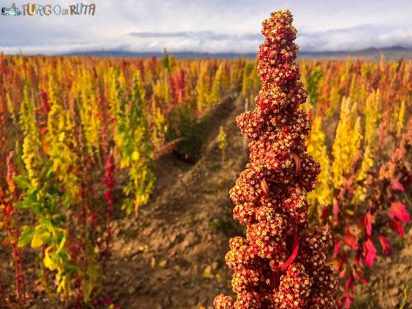 La planta de la quínoa, en la carretera que une Oruro con la Paz.