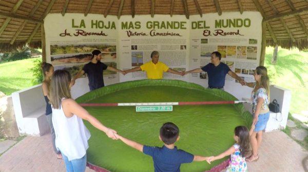 La hoja más grande del mundo en la Rinconada, Santa Cruz de la Sierra