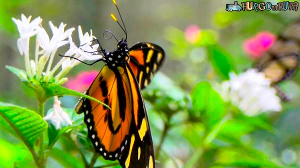 One of the species of butterflies that can be found in the Biocentro Güembé