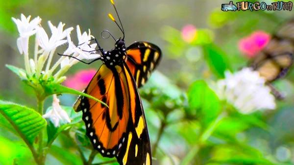 Una de las especies de mariposas que se pueden encontrar en el biocentro Güembé