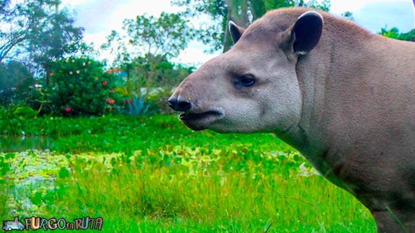 The tapir was recovered after it was seized to a well-known narco.