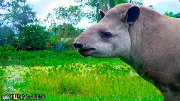 El tapir fue recuperado después de que fuera decomisado a un conocido narco.