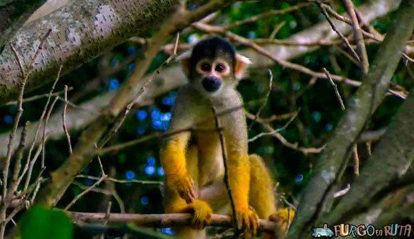 Los monos titís saltan entre los árboles por decenas al aire libre en Güembé.