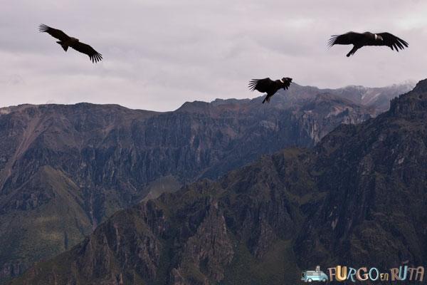 Tres cóndores sobrevuelan el cañón del Colca.