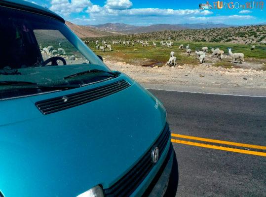 Los rebaños de llamas y alpacas se cruzan en la carretera que va Chivay a Arequipa