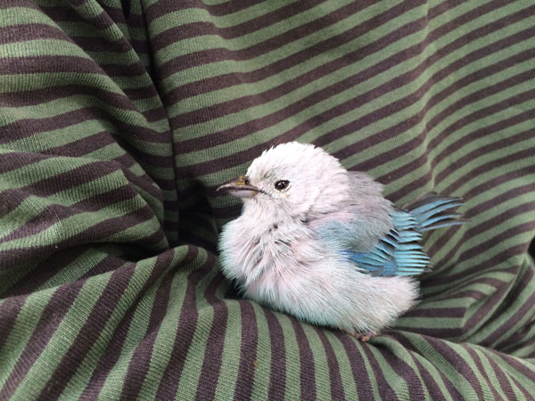 Blau, el mensajero alado