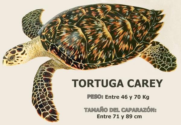 tortugas marinas en Bocas del Toro: Tortuga carey