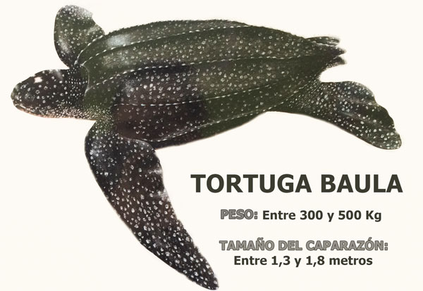 Marine turtles in Bocas del Toro: Leatherback turtle