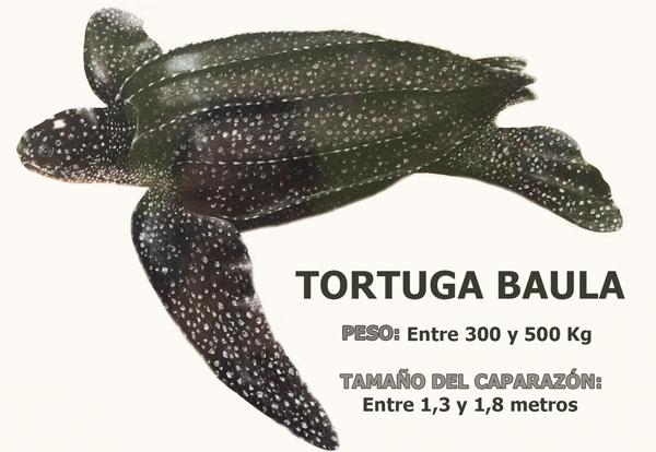 tortugas marinas en Bocas del Toro: Tortuga baula